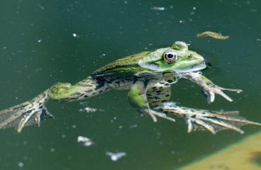 Žába v horké vodě